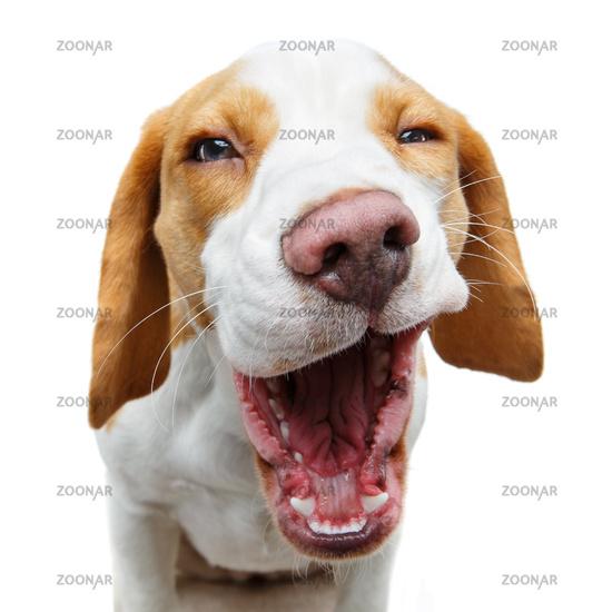 funny beautiful beagle dog