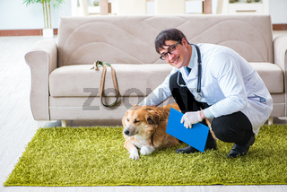 Vet doctor examining golden retriever dog at home visit