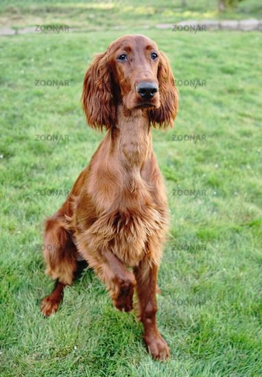 Young Purebred Irish Setter Puppy Canine Dog