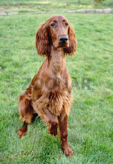 Young Purebred Irish Setter Puppy Canine Dog