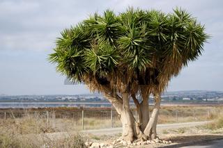 Dragon blood tree near the Las Salinas of Torrevieja. Spain