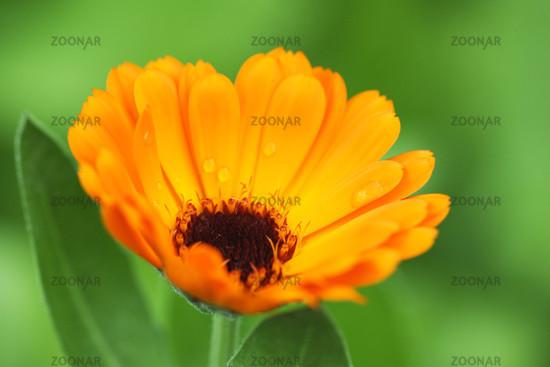Garten Ringelblume, Calendula officinalis
