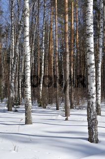 View of birch trees in winter forest
