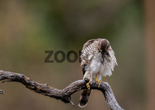 Sparrow Hawk sitting on curved branch groomin feathers Copy space