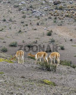 Vicunas at Chimborazo Park Ecuador