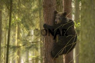Bärenjunges... Europäischer Braunbär *Ursus arctos*
