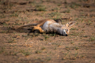 Black-backed jackal rolling itself in the sand.