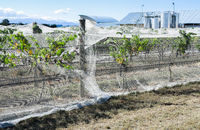 grape vines with netting.