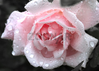 gentle pink rose with water drops