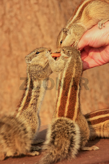 Tourist feeding Indian palm squirrels in Agra Fort, Uttar Pradesh, India