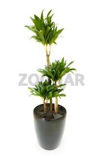 Dracaena plant isolated on the white background
