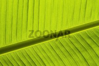 Bananenblatt (Musaceae)