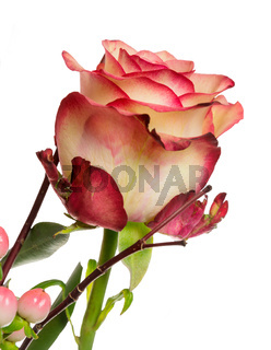 Isolated rose flower