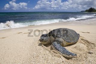 Gruene Meeresschildkroete am Strand