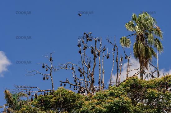 Fledermauskolonie im Botanischen Garten von Sydney