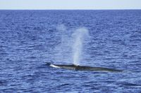 Brydewal mit Blas, Bryde`s whale with his blow