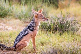 Side profile of a sitting Black-backed jackal.