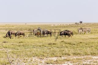 Streifengnu und Zebras, Blue Wildebeest and Zebras