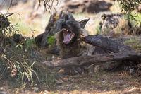 a brown hyena Etosha National park namibia