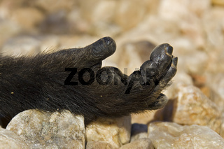 Hand eines Steppenpavians (Papio cynocephalus), Namibia, Afrika, Hand of a Yellow Baboon, Africa