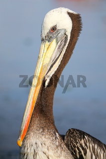 Portrait of Brown Pelican in Paracas Bay, Peru