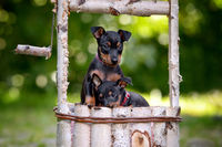 BENZ KERSTIN - ENGLISH TOY TERRIER-3.jpg