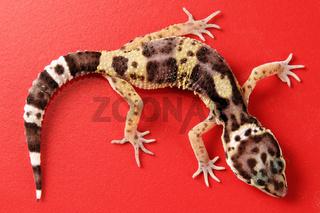 Leopardengecko (Eublepharis macularius) - eopard gecko (Eublepharis macularius)