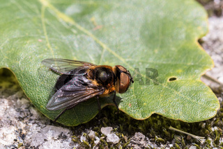 Parasitic Tachina fly Phasia hemiptera from Mandal, Norway, in summer, july