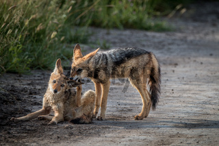 Two Black-backed jackals bonding.
