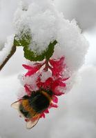 Hummel im Schnee