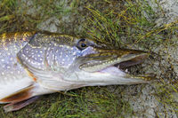 The head of northern pike