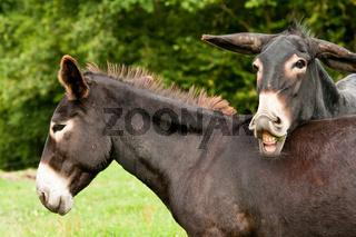 Grossesel_donkey