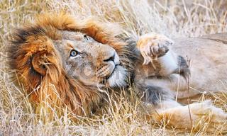 Löwe liegt faul im Gras und schlägt nach Fliegen, Südafrika, lion lying in the grass, South Africa