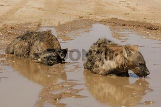 Tüpfelhyäne, Südafrika