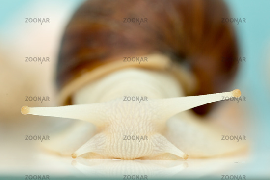 Giant snail Achatina is the largest land mollusk on Earth