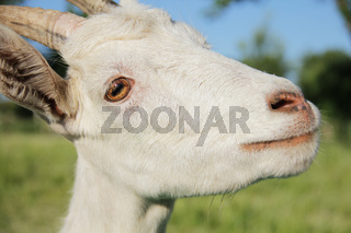 Funny white goat portrait