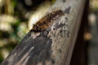 Gypsy Moth caterpillar.