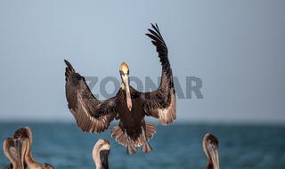 Brown pelican bird Pelecanus occidentalis