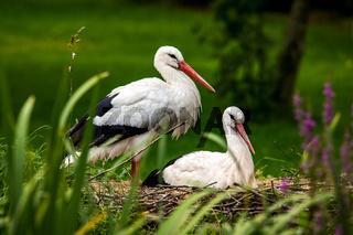 Storch Paar bei der Brut