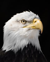 Bald Eagle XIII