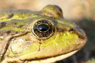 macro portrait of marsh frog ( Pelophylax ridibundus )
