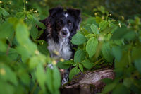 BENZ KERSTIN - BORDER COLLIE-6.jpg