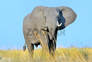 Elefantenbulle bedrohlich