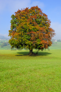 single big beech tree in field with perfect treetop
