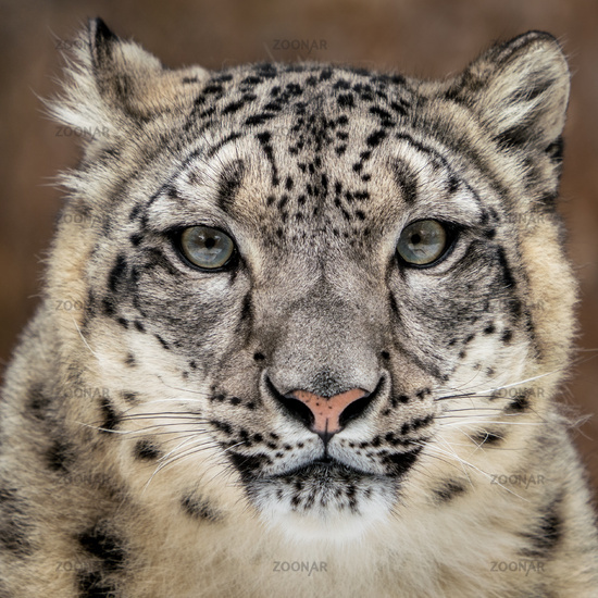 Snow Leopard Closeup