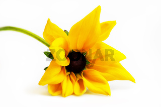 Single stem with smal yellow and black flower Rudbeckia fulgida isolated on a white background