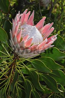 Königsprotea, Westkap Provinz, Südafrika