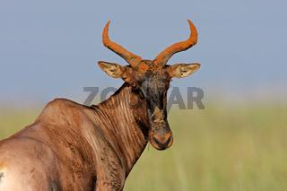 Tsessebe antelope