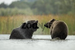 im flachen Wasser... Europäischer Braunbären schütteln sich das Wasser aus dem Pelz *Ursus arctos*
