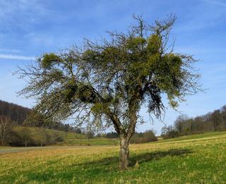 Misteln; Apfelbaum; viscum album; mistletoe;